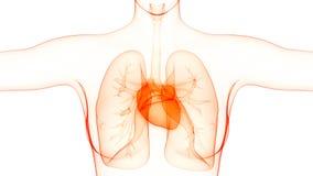 Sistema cardiovascular dos ?rg?os do corpo humano com anatomia do cora??o ilustração stock