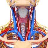 Sistema circolatorio della gola Fotografia Stock Libera da Diritti