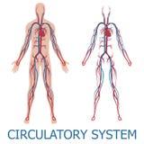Sistema circolatorio umano Fotografie Stock