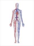 Sistema circulatorio Fotos de archivo