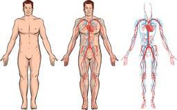 Sistema circulatorio stock de ilustración
