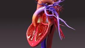 Sistema circulatorio con el corazón de la intersección ilustración del vector