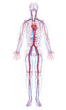 Sistema circulatorio de cuerpo masculino Fotos de archivo libres de regalías