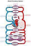Sistema circulatorio de la sangre de cuerpo humano stock de ilustración