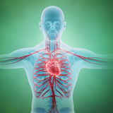 Sistema circulatorio humano libre illustration