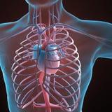Sistema circulatorio humano stock de ilustración