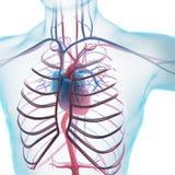 Sistema circulatorio humano ilustración del vector