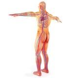 Sistema circulatorio humano masculino Imagen de archivo libre de regalías