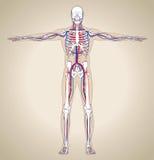 Sistema circulatorio (masculino) humano Imagen de archivo libre de regalías