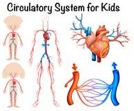Sistema circulatorio para los niños stock de ilustración