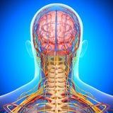 Sistema circulatorio y nervioso de cerebro Imagen de archivo libre de regalías