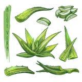 Sistema colorido de los elementos de Vera del áloe Siluetas del vector de la planta botánica stock de ilustración