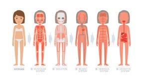 Sistema da anatomia da mulher e estrutura do corpo humano Foto de Stock