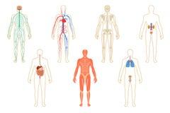 Sistema de órganos humanos y de sistemas Imagen de archivo