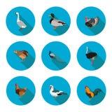 Sistema de aves de corral planas de los iconos Imagen de archivo libre de regalías