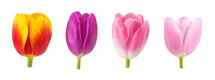 Sistema de brotes de los tulipanes en diversos colores y especies aislados en el fondo blanco Fotografía de archivo