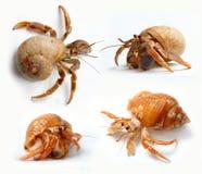 Sistema de cangrejos de ermitaño del mar del Caribe Imagenes de archivo