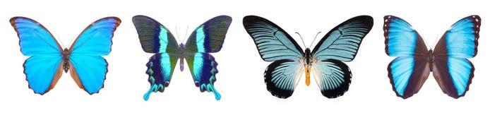 Sistema de cuatro azules, mariposas hermosas Imagen de archivo