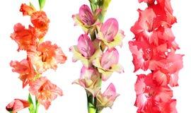 Sistema de diversas flores del gladiolo aisladas en blanco Fotos de archivo