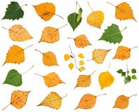 sistema de diversas hojas de los árboles de abedul aislados Imagenes de archivo