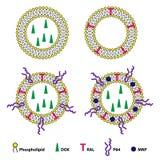 Sistema de envío Sheme de la droga de los liposomas Fotos de archivo