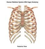 Sistema de esqueleto humano Rib Cage Posterior View Anatomy ilustração do vetor
