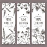Sistema de 3 etiquetas del vector con la hierbabuena, la manzanilla y el echinacea Imagenes de archivo
