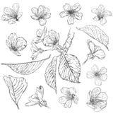 Sistema de flores de cerezo Colección de flores de Sakura Dibujo blanco y negro de las flores de la primavera stock de ilustración