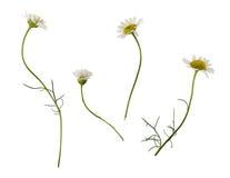 Sistema de flores de la margarita Imagen de archivo