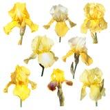 Sistema de flores del iris amarillo aisladas en el fondo blanco Imagen de archivo
