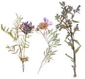 Sistema de flores salvajes presionadas Fotografía de archivo