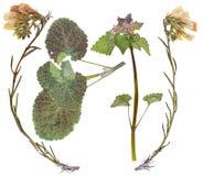 Sistema de flores salvajes presionadas Fotografía de archivo libre de regalías