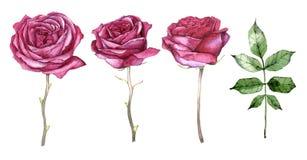 Sistema de flores y de hojas dibujadas mano de la acuarela en un fondo blanco Imagenes de archivo