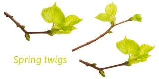 Sistema de fotos de las ramas de árbol de tilo de la primavera aisladas en blanco Ramitas de Pascua de la primavera para los coll Imagen de archivo