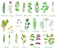 Sistema de hierbas verdes stock de ilustración