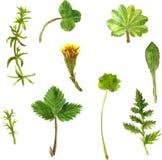 Sistema de hierbas y de hojas del dibujo de la acuarela Imagen de archivo libre de regalías
