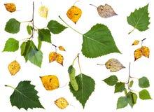 Sistema de hojas del abedul amarillo del verde y del otoño del verano Fotografía de archivo