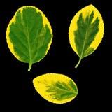 Sistema de hojas del euonymus aisladas Foto de archivo
