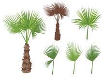 Sistema de hojas redondas de la palma de fan Palmera del ventilador Foto de archivo libre de regalías