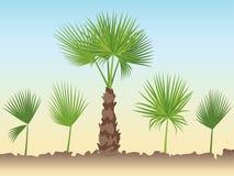 Sistema de hojas redondas de la palma de fan Palmera del ventilador Fotos de archivo