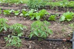 Sistema de irrigação do gotejamento Fotografia de Stock Royalty Free