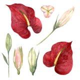Sistema de la acuarela de Anthurium rojo y de brotes rosados del lirio en vagos blancos ilustración del vector