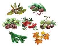 Sistema de la acuarela de la bellota de la planta, castaña, hoja de arce, serbal, cedro, conos, agujas del árbol aisladas Foto de archivo