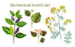 Sistema de la acuarela de plantas con las bayas y las flores stock de ilustración
