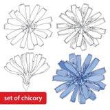 Sistema de la flor de la achicoria aislado en el fondo blanco Elementos florales en estilo del contorno Fotos de archivo libres de regalías