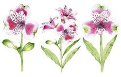 Sistema de la flor dibujada mano del Alstroemeria de la acuarela Fotos de archivo libres de regalías