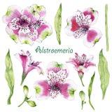 Sistema de la flor dibujada mano del Alstroemeria de la acuarela Fotografía de archivo libre de regalías