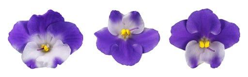 Sistema de la flor violeta aislada Foto de archivo libre de regalías