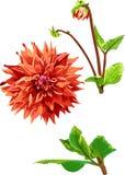 Sistema de la flor y de las hojas 1 de Georgina Imágenes de archivo libres de regalías