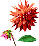 Sistema de la flor y de las hojas 2 de Georgina Fotografía de archivo